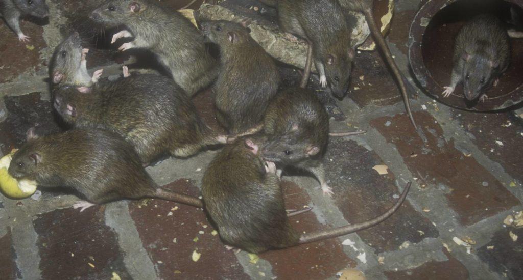 уничтожение крыс в Всеволжске